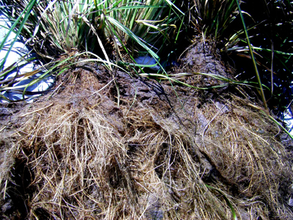 Bega floating reedbed roots at trial completion 1