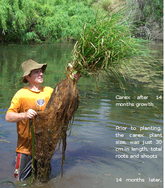 Bega floating reedbed roots at trial completion 2