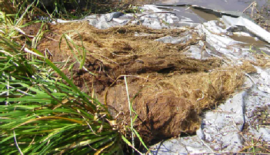 Bega floating reedbed roots at trial completion